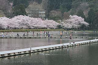 東山湖フィッシングエリア桜の時期写真