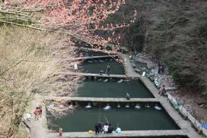 千早川マス釣り場 えさ釣り・3月末頃