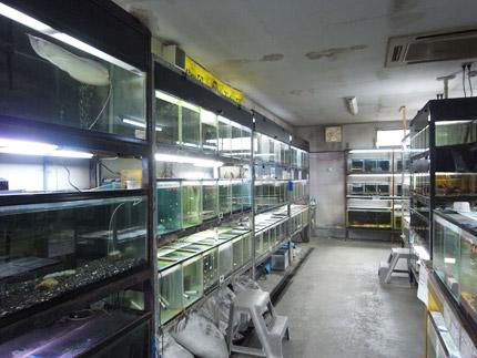 フィッシュランド丸宮熱帯魚販売写真