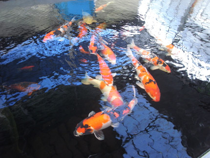 フィッシュランド丸宮錦鯉販売写真